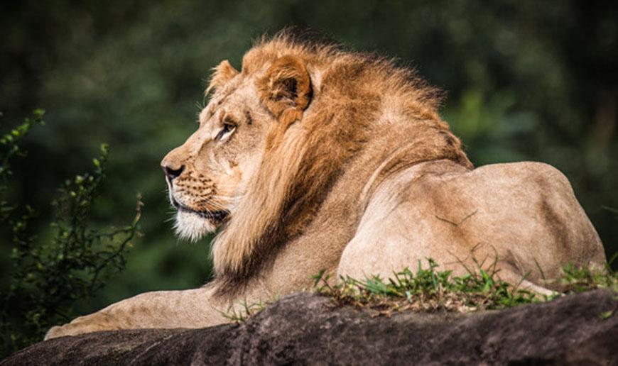 disney animal kingdom lion king